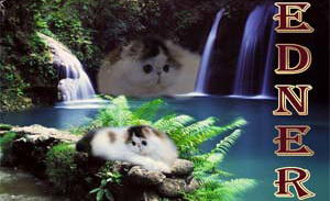 Exotics & Persians Cattery Edner